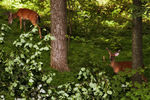 Title: Deer behind fallen branches