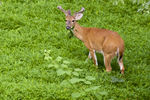 Title: White-tailed (Virginia) Deer