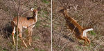 Title: 2 frames of White Tail DeerCanon EOS 40D