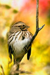Title: Song Sparrow