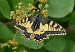 Title: Papilion machaon