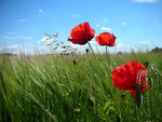 Title: Poppies in the wind