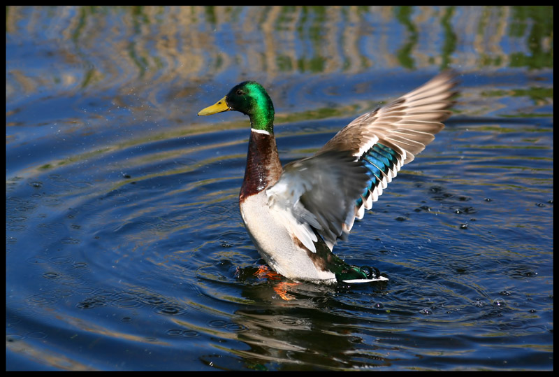 ...not another mallard pic...please...
