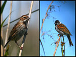 Title: reed bunting