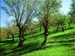 Title: almond trees