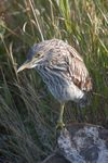 Title: Juvenile Black-crowned Night Heron