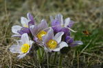 Title: Crocus and Friends