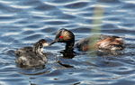 Title: Eared Grebe and Chicks