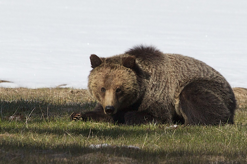 Even Grizzlies have a Bad Day