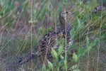 Title: Blue Grouse
