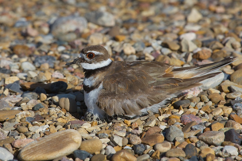Mom Killdeer