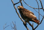 Title: Red-tailed HawkCanon 20D