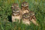 Title: Burrowing Owl Babies