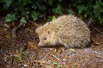 Title: Mr Hedgehog from Wimpole