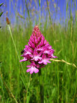 Title: Pyramid orchid