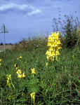 Title: Common Toadflax