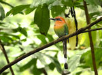Title: Broad-billed Motmot