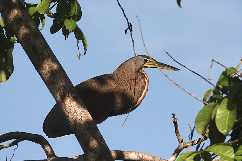 Bare-throated Tiger Heron