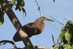 Title: Bare-throated Tiger Heron
