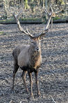 Title: Red Deercanon