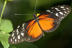 Title: Hecale Longwing