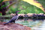 Title: Long-tailed Cormorant