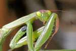 Title: Praying mantis