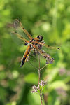 Title: Four-spotted Chaser