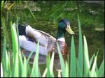 Title: Calm Mallard DuckCanon Powershot S1-IS