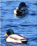 Title: Mallard DucksCanon Powershot S1-IS
