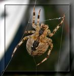 Title: Spiders Belly