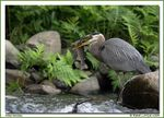 Title: Great Blue Heron and Trout