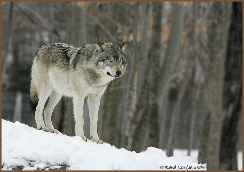 Grey Wolf - Winter