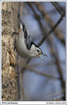 Title: Nuthatch