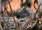 Title: Sylvia curruca chicks in nest