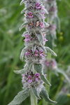Title: Stachys germanica
