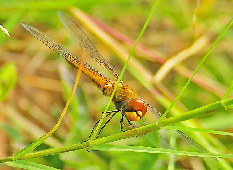 A nother Dragonfly
