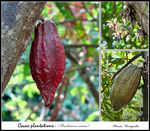 Title: Cacao