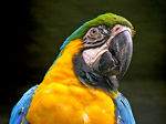 Title: Guacamaya amarillaCanon Powershot S3 IS