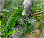 Title: Iguana Verde - Are you talking to me?