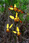 Title: Donkey Orchid