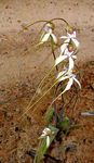 Title: Spider orchid