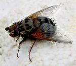 Title: March fly