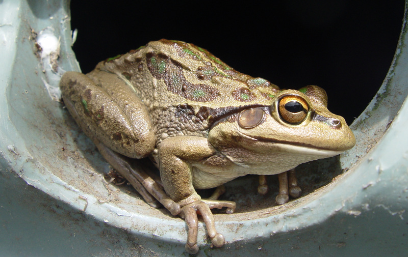 Another Western tree frog
