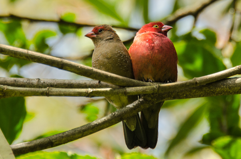 Red Bellied Firefinch