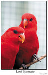 Title: Red Lory