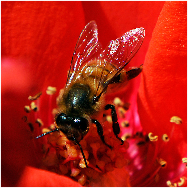 The scarlet and the bee