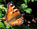 Title: The butterfly of Ilgaz Mountain