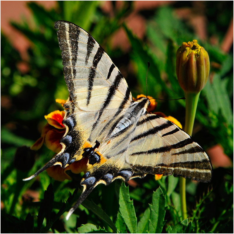 The butterfly of Kahramanmaras