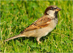 Title: Sparrow in the park